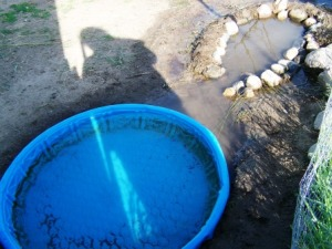 The main duck pool for the adult ducks.